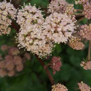Photographie n°2217819 du taxon Angelica sylvestris L. [1753]