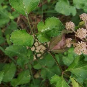 Photographie n°2217820 du taxon Angelica sylvestris L. [1753]