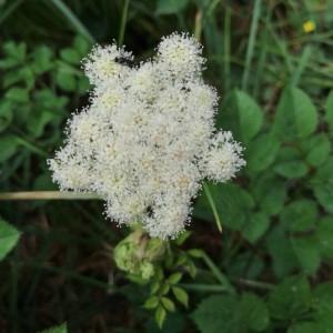 Photographie n°2217825 du taxon Angelica sylvestris L. [1753]