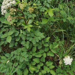 Photographie n°2217826 du taxon Angelica sylvestris L. [1753]