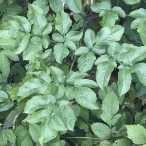 Photographie n°2217906 du taxon Angelica sylvestris L. [1753]