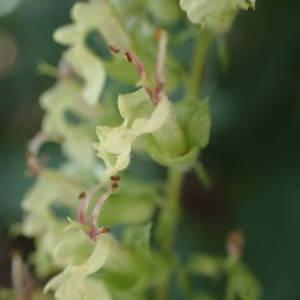 Photographie n°2218051 du taxon Teucrium scorodonia L.