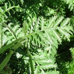 Photographie n°2218452 du taxon Tanacetum corymbosum (L.) Sch.Bip. [1844]