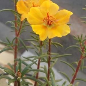 Portulaca grandiflora Hook. (Chevalier-d'onze-heures)