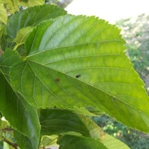 Photographie n°2218828 du taxon Morus alba L. [1753]