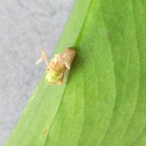 Ruscus hypophyllum L. (Fragon)