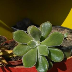 Photographie n°2219330 du taxon Euphorbia peplus L. [1753]