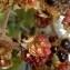 La Spada Arturo - Rubus ulmifolius Schott [1818]