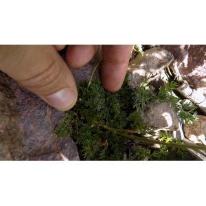 Mutellina corsica (J.Gay) Reduron, Pimenov & Leonov (Ligustique de Corse)
