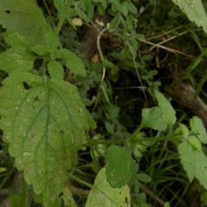 - Melissa officinalis subsp. altissima (Sm.) Arcang. [1894]