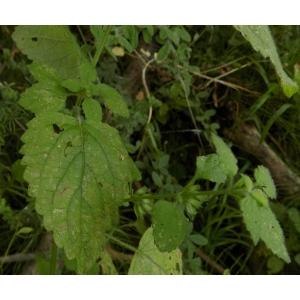Melissa officinalis subsp. altissima (Sm.) Arcang. (Grande Mélisse)