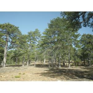 Pinus nigra subsp. nigra var. pallasiana (Lamb.) Holmboe
