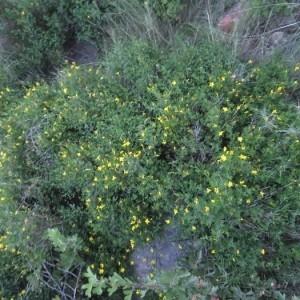 Photographie n°2219986 du taxon Jasminum fruticans L. [1753]
