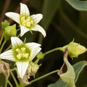 Photographie n°2220174 du taxon Bryonia dioica Jacq. [1774]