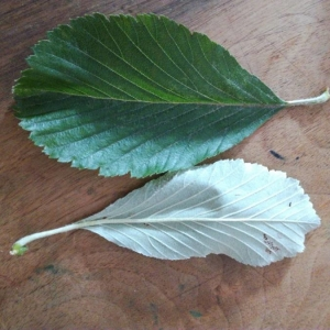 - Sorbus aria (L.) Crantz