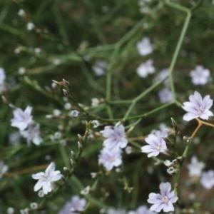 - Limonium virgatum (Willd.) Fourr. [1869]