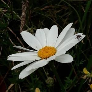Photographie n°2220373 du taxon Leucanthemum vulgare Lam. [1779]