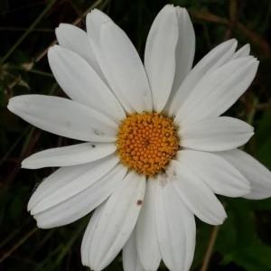 Photographie n°2220374 du taxon Leucanthemum vulgare Lam. [1779]