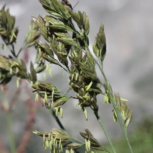 Photographie n°2220906 du taxon Festuca paniculata subsp. paniculata