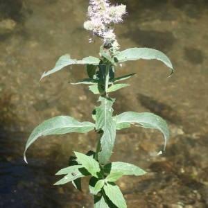 Photographie n°2221016 du taxon Mentha longifolia (L.) Huds. [1762]