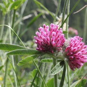 Photographie n°2221131 du taxon Trifolium alpestre L. [1763]