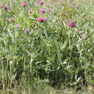Photographie n°2221526 du taxon Trifolium alpestre L. [1763]
