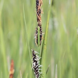 Photographie n°2221630 du taxon Carex nigra (L.) Reichard