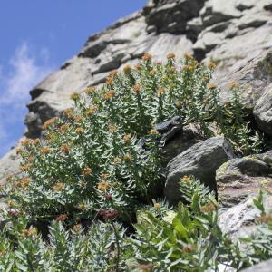 Photographie n°2221952 du taxon Rhodiola rosea L. [1753]