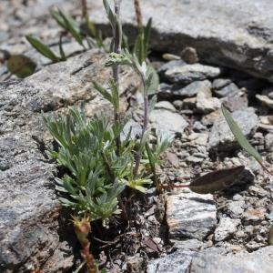 Photographie n°2221962 du taxon Artemisia eriantha Ten. [1831]