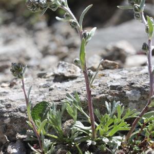 Photographie n°2221973 du taxon Artemisia eriantha Ten. [1831]