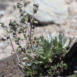 Photographie n°2221976 du taxon Artemisia eriantha Ten. [1831]