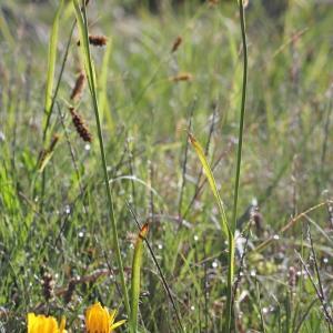 - Luzula sudetica (Willd.) Schult.