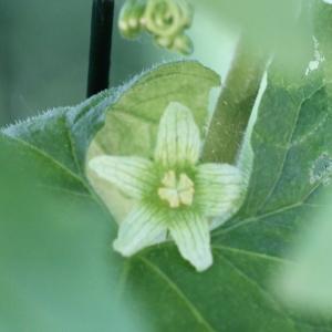 Photographie n°2222151 du taxon Bryonia dioica Jacq. [1774]