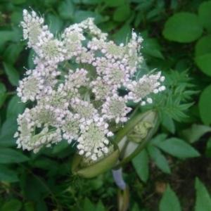 Photographie n°2222573 du taxon Angelica sylvestris L. [1753]
