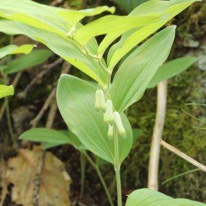 Photographie n°2222702 du taxon Polygonatum multiflorum (L.) All. [1785]