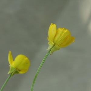 Photographie n°2222716 du taxon Ranunculus bulbosus L. [1753]