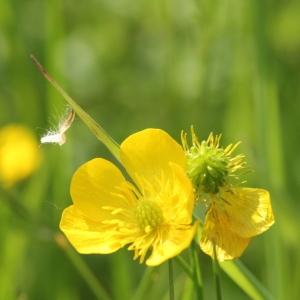 Photographie n°2222718 du taxon Ranunculus bulbosus L. [1753]