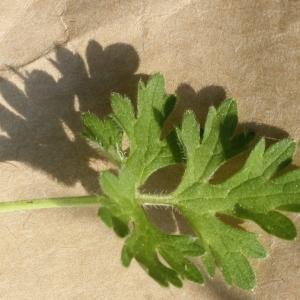 Photographie n°2222719 du taxon Ranunculus bulbosus L. [1753]