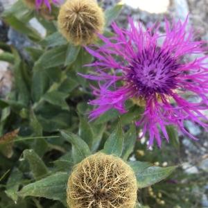 Centaurea phrygia L. (Centaurée)
