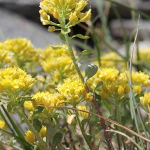 Photographie n°2222999 du taxon Alyssum alpestre L.