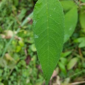 Photographie n°2223107 du taxon Buddleja davidii Franch.
