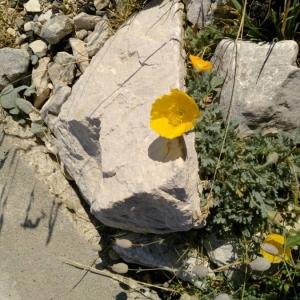 Photographie n°2223211 du taxon Papaver alpinum L. [1753]