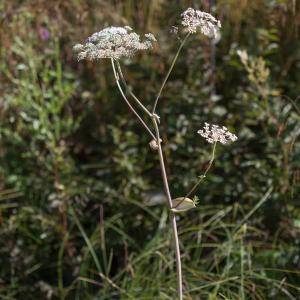 Photographie n°2223235 du taxon Angelica sylvestris L. [1753]