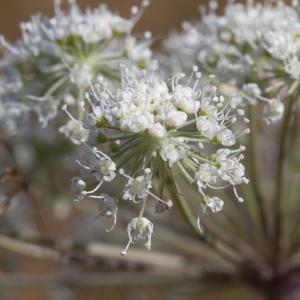 Photographie n°2223236 du taxon Angelica sylvestris L. [1753]