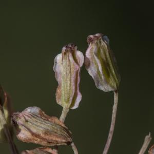 Photographie n°2223296 du taxon Angelica sylvestris L. [1753]
