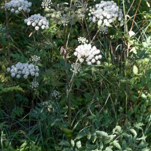 Photographie n°2223297 du taxon Angelica sylvestris L. [1753]