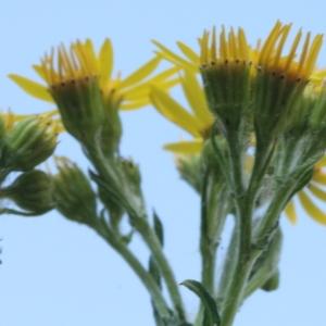 Photographie n°2223415 du taxon Senecio jacobaea L. [1753]