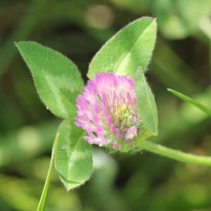 Photographie n°2223438 du taxon Trifolium pratense L. [1753]