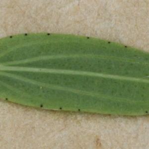 Photographie n°2223822 du taxon Hypericum perforatum L.