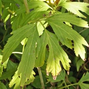 Photographie n°2224057 du taxon Rudbeckia laciniata L. [1753]